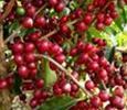 Việt Nam đứng thứ 3 về thị phần cà phê tại Nhật Bản