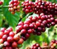 Việt Nam là nhà cung ứng lớn thứ hai mặt hàng cà phê vào Italy